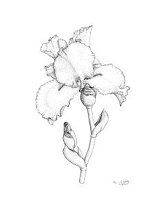 Iris No. 1 by Kaziem.deviantart.com on @deviantART