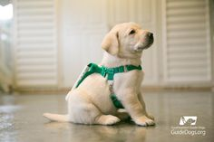 From the time they are born until they are paired with their forever handlers, our puppies soak up a reference library of experiences. This includes getting accustomed to wearing a harness that will someday provide a lifeline for someone who needs them. | Guide Dog Puppies Are Being Trained With These Adorable Mini Harnesses