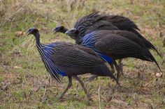 coop for guinea hens   guinea fowls
