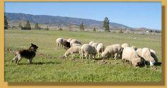 tomies baa baa black sheep