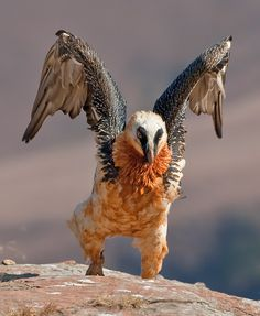 ༻❁༺ ❤️ ༻❁༺ The Bearded Vulture (Gypaetus Barbatus), also known as the Lammergeier or Lammergeyer, is a bird of prey. It lives and breeds on crags in high mountains in southern Europe, Africa and India. ༻❁༺ ❤️ ༻❁༺