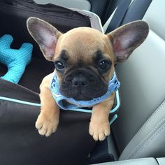 """Car rides make me Sleepy"", Sir George the French Bulldog Puppy,"