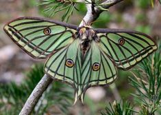 Graellsia isabellae (Spanish moon moth)