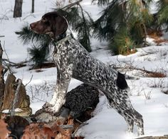 We invite you to explore these pages further to learn more about this wonderful versatile dog, find reputable German Shorthaired Pointer breeders and learn ...