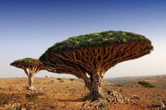 The Dracaena cinnabari is more commonly known as the Socotra dragon tree, as it is native to Socotra Island in Yemen. It is also sometimes referred to as the dragon blood tree because it has a dark crimson resin. Dragon Blood Tree, Dragon Tree, World's Most Beautiful, Beautiful Places, Amazing Places, Beautiful Dragon, Wonderful Places, Tree Seeds, Tree Photography