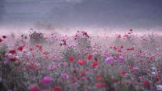 Poppy Field on a Misty Morning - Taken at Shimotsuma City, Ibaraki Pref,Japan. Vast flower garden in the Shimotsuma City. In May, will bloom about two million poppies. Carpet of flowers in the entire field will spread. Since the fog occurs early in the morning, it will be fantastic landscape. Management of this flower garden has been done by the volunteer group.