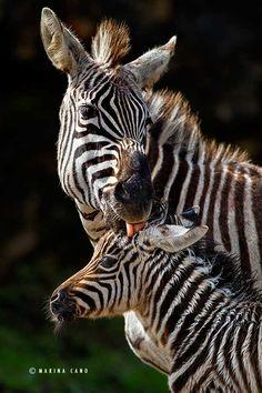 Zebras by Marina Cano