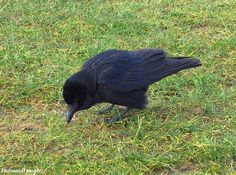 Corneille noire - Corvus corone - carrion crow by Thomas Humbert