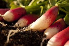 Growing Radishes 101 - HOMEGROWN