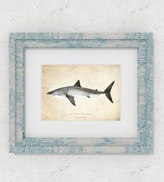 Tiburón blanco - Carcharodon carcharias - 21 x 14,8 cm - 14,8 x 10,5 cm - Edición limitada