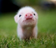 fat cute pigs  are absolutely ADORBS