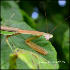 A close up of a praying mantis taken last year in the park by Jenny Koester.