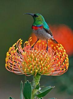 Cinnyris chalybeus, southern double-collared sunbird, South Africa on a proteus blossom Kinds Of Birds, All Birds, Love Birds, Pretty Birds, Beautiful Birds, Animals Beautiful, Pretty Flowers, Animals Amazing, Pretty Animals