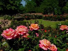 Tyler rose garden- Tyler, Texas. Largest rose garden in the U.S.