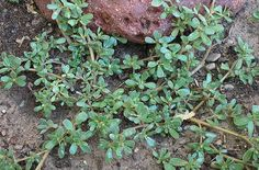 Want to add some more of those all-important Omega-3 fatty acids to your diet? Go out in your yard, snip some purslane (Portulaca oleracea) and add it to a salad. This succulent plant is commonly found in warm, temperate regions of the U.S. and around the world, and has been used historically as a remedy for arthritis and inflammation in Chinese medicine.    Purslane has more beta-carotene than spinach and can be used in much the same way in salads, pasta dishes, burritos, stews – just about any