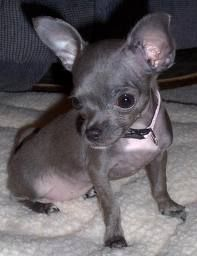 Blue Chihuahua...looks so much like my sweet Annabelle when she was little. Gosh I miss her so much!!!
