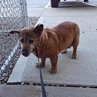 Mt Gilead Ohio Corgi Meet Huffy A For Adoption Https Www Adoptapet Com Pet 25042113 Mt Gilead Ohio Corgi Corgi Pets Pet Adoption