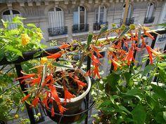 Petit tour sur mon balcon parisien à la fin juillet http://www.pariscotejardin.fr/2014/07/petit-tour-sur-mon-balcon-parisien-a-la-fin-juillet/