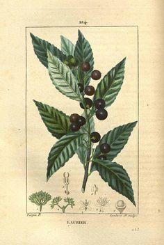 Laurus nobilis L. (bay laurel,  laure)  Chaumeton  (1830)