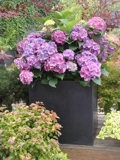 container gardening ideas | Ideas for container gardening fiberstone hydrangea designhappy Ideas ...