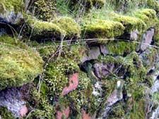 How to grow moss on a stone or brick wall, or between paving stones.