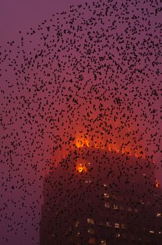 Bats night flight. We have a lot of bats in Austin and its amazing to see them all flying together.