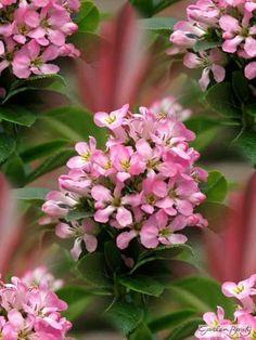 Buy Escallonia Pink Elle | Shrub | Garden Beauty | Garden Beauty