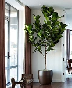 Ficus, Living Room Designs, New Homes, Flowers, Plants, House, Inspiration, Accessories, Biblical Inspiration