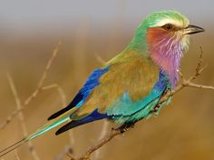 """Lilac-Breasted Roller: a stunningly exquisite bird that you are most likely to encounter during a game drive. """"Rolls"""" in display and explodes in a myriad of colours when giving chase."""