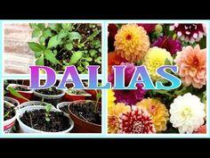 Germinando semillas FÁCIL 🌸 DALIAS 🌸 y más 💜 - YouTube