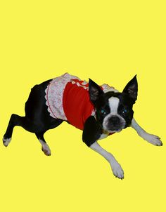 Boston Terrier dog Lucy is so pretty in this little red dress!  www.fetchdogfashions.com  #puppy