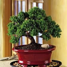 Countryside Nursery 13292 Pond Springs Road Austin Texas Bonsai Online Juniper