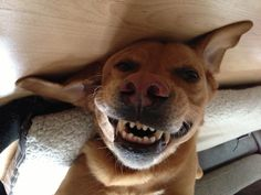 My dog says cheeeeeeesssse!!!  #smilingsog #dog #funnydog I took this picture of my dog because he asked me if he could make it as a top London model.