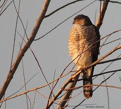 My Last Light  by Andrea Cowart on Capture Memphis // I was honored today with Sky Birds of Prey choosing this picture for their page today for Hawk Wednesday. I am very honored