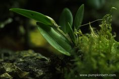Restrepia trichoglossa, as pictured on the 4th December 2016, inside my BiOrbAir terrarium.