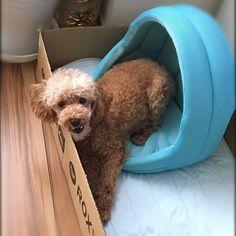 8月の暑い時の写真。 普段は床やソファで寝そべってるけど、この日は避暑地求めてさまよってた。  丁度いいサイズのダンボールがあったので 下にヒンヤリケットを敷いて作ったんだけど。。 「暑いやないかーい❗️」の顔😆💦 #紗良#サラ#愛犬#保護犬 #保護犬カフェ卒業生#dog#precious#トイプードル#惚れてまうやろー#晩酌中#今日の晩酌はハイボール#眠いけどまだ呑んでしまう