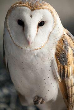 Barn Owl   Flickr - Photo Sharing!