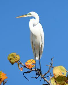 Great egret. (Charlie Banks) Sanibel