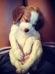 The pink, wrinkly tummy is killing me :)---brittany spaniel puppy