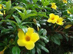 La Alamanda o Copa de Oro, es una planta trepadora de preciosas flores amarillas. Su nombre científico es Allamanda cathartica. La Alamanda es nativa de América tropical, principalmente de Brasil.