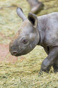 Adorable baby rhino named Olmoti.