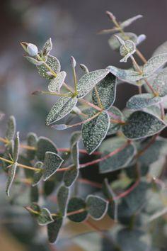 9 Best Eucalyptus Rubida Cab Sav Eucalyptus Tree Images In 2016
