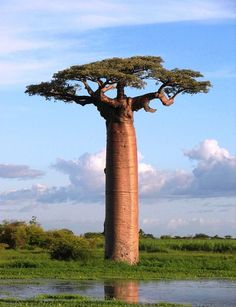 Madagascar's Baobab tree.