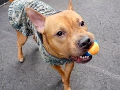 KILLED BY ACC - 06/02/15 - TO BE DESTROYED 06/02/15 - SUPER URGENT - SCOOBY aka CAPT PHILIPS – #A0992168 **RETURNED 05/28/15 due to 'NEW BABY'** MALE, TAN / WHITE, AM PIT BULL TER MIX, 4 yrs OWNER SUR – ONHOLDHERE, HOLD FOR ID Reason NEW BABY Intake Date 05/28/2015