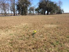 Daffodils in a plantation field, early March