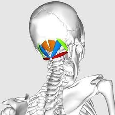 Occipital neuralgia and Suboccipital headache – neuralgia treatments without nerve block or surgery Yoga Fitness, Health Fitness, Workout Fitness, Occipital Neuralgia, Yoga Anatomy, Muscle Anatomy, Massage Benefits, Anatomy And Physiology, Neck Pain
