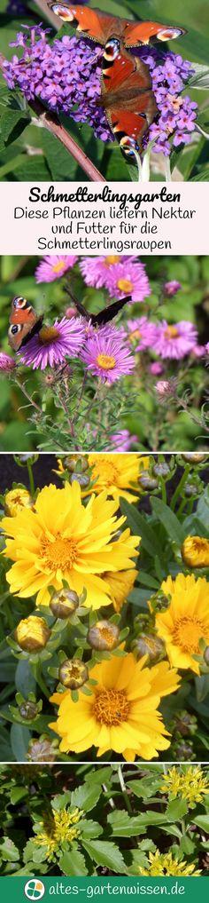Schmetterlinge benötigen zwei Arten von Futterpflanzen, Nektarpflanzen für die adulten Falter und Blattgrün für den hungrigen Nachwuchs. Viele Schmetterlingspflanzen sind wunderschön und lassen sich ohne Probleme in den Hausgarten integrieren.