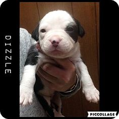 Boxer/Terrier (Unknown Type, Medium) Mix Puppy for adoption in Detroit, Michigan - Dizzle - Available Soon