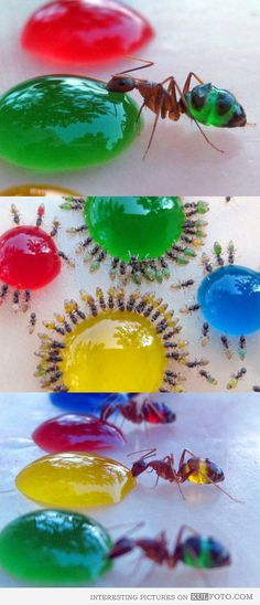 Transparent ants drinking colored sweet water - Interesting ants with translucent bellies drinking sweetened and colored water and coloring themselves.