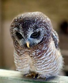 The African Wood Owl